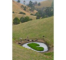 Cows at rest before hill-walking. Gippsland, Victoria. Photographic Print