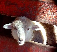 Sheep through Red Picket Fence by Lyccid