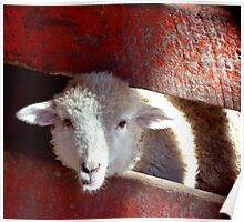 Sheep through Red Picket Fence Poster
