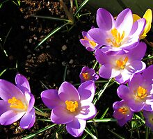 Crocus Dance by BlueMoonRose
