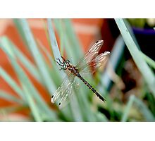 Dragonfly on Shallots 2 Photographic Print