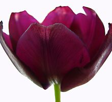 Purple Tulip One by Yvonne Carsley