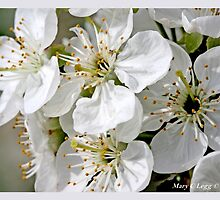 Cluster of apple blossoms A by pogomcl