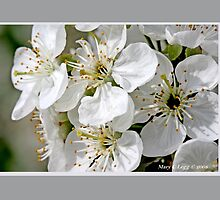 Cluster of apple blossoms C by pogomcl