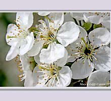 Cluster of apple blossoms E by pogomcl