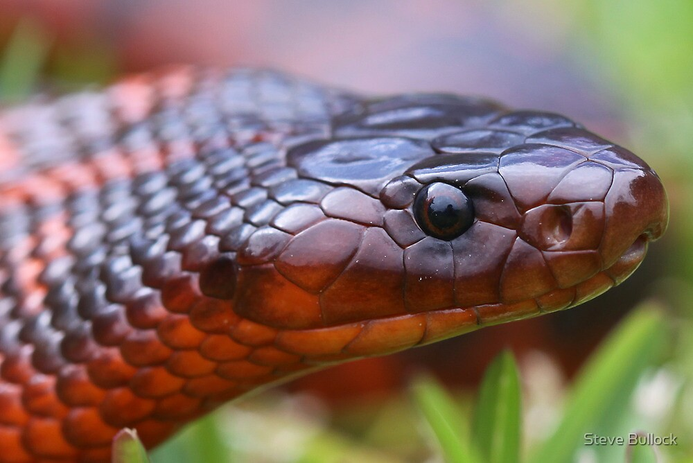 Collett's Snake 1 by Steve Bullock