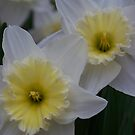 Three Daffodils by Michele Markley
