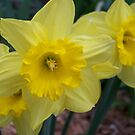 Yellow Daffodils by Michele Markley