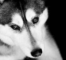Portrait of a Husky by Josie Eldred