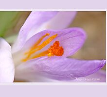 Purple crocus bursts into spring F by pogomcl