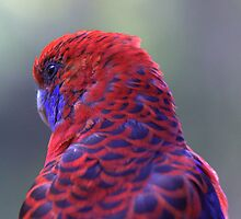 Crimson Rosella Parrot by Stecar