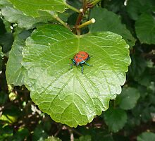A Harlequin Beetle on Hibiscus Leaf. by Mywildscapepics