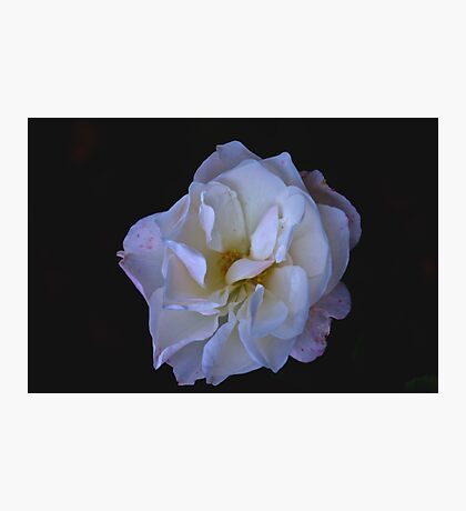 Hint of Pink (Rose) Photographic Print