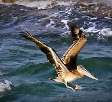 Brown Pelican, Port Aransas, Texas by Robert Kelch, M.D.