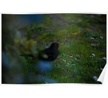 Blackbird trought the bush Poster