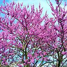 Redbud Trees - Welcome Spring! by Ruth Lambert