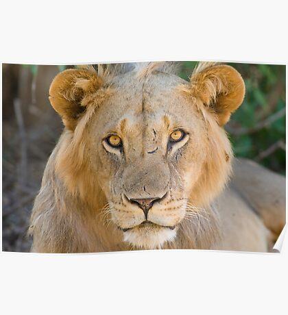 African Lion, Samburu, Kenya Poster
