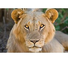 African Lion, Samburu, Kenya Photographic Print