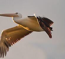 Sunset Pelican by byronbackyard