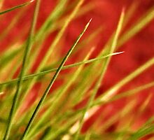 Spinnifex Grass in Central Australia by Ohlordi