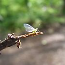 Greenfly on a twig. by Livvy Young