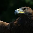 Golden Eagle by Sue Earnshaw