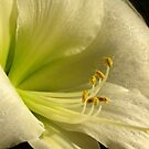 Hippeastrum by Maria1606