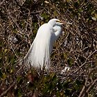 Great egret on the nest with young by Robert Kelch, M.D.
