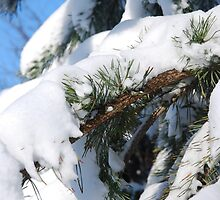 fir tree whit snow by KristinaK