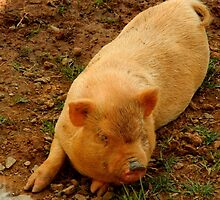 This little piggy........down on the farm    ^ by ctheworld