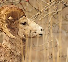 Young Ram, Mountain Sheep photo Donna Ridgway Montana by Donna Ridgway
