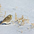 Mrs. Horned Lark by A.M. Ruttle