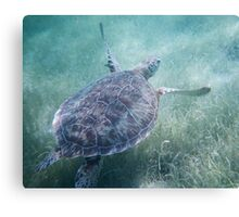 Flying Turtle - Akumal, Mexico Canvas Print