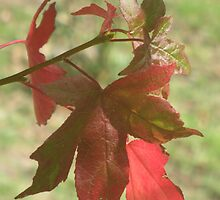 Fragments of a Liquidamber Autumn by GemmaWiseman