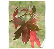 Fragments of a Liquidamber Autumn Poster