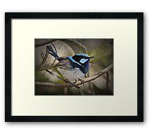 Superb Fairy Wren Laratinga Wetlands Framed Print