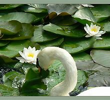 swan mad in pond by LisaBeth