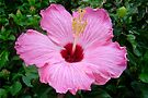 Heavenly Hibiscus by AuntDot