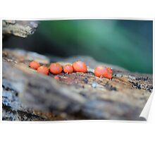 Lycogala epidendrum (A Slime Mould) Poster