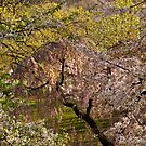Bird' Eye on the Blossoms (Trees in bloom, Fort Tyron Park NYC) by Dave Bledsoe