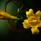 Yellow Jasmine by Phillip M. Burrow
