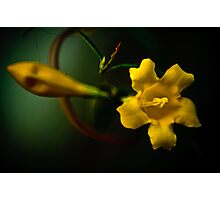 Yellow Jasmine Photographic Print