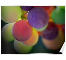 Multi-coloured grapes - Hunter Valley, NSW Poster