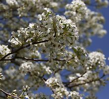 Bradford Pear by Robert McLain