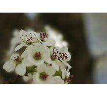 Bradford Pear Blossoms Photographic Print