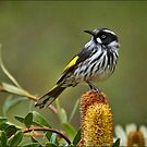 New Holland Honeyeater at Warrawong #2 by Barb Leopold