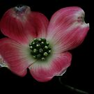 Pink Dogwood by love2shoot