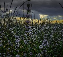 Wild Field Mint by Charles & Patricia   Harkins ~ Picture Oregon