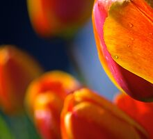 orange tulips, backlit, after the rain, late afternoon sun by Allan  Erickson