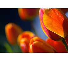 orange tulips, backlit, after the rain, late afternoon sun Photographic Print